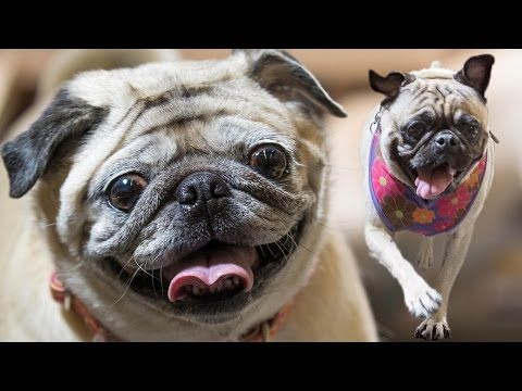 Running of the Pugs
