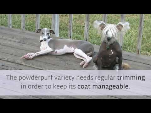 18 Facts You May Not Know About Chinese Crested Dog