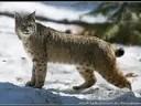 The Cat Family - All of Felidae