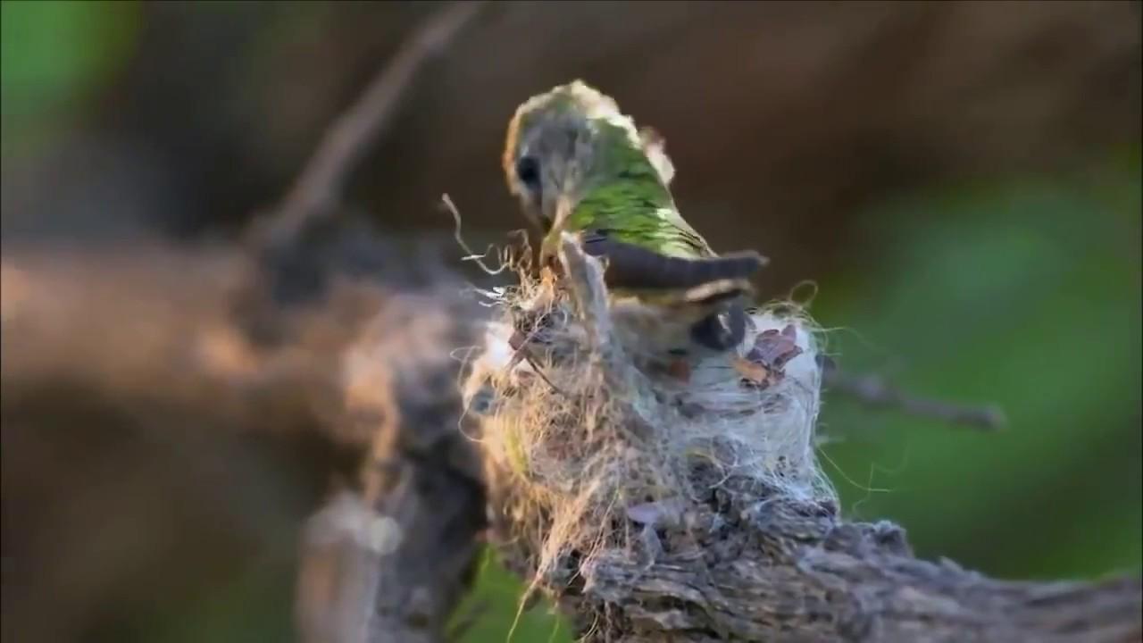 ¡Pues si, telarañas!...aunque también utilizan, en ocasiones, algodón, liquen o musgo. Muchas veces hemos visto las magníficas imágenes de colibris batiendo sus alas a una velocidad ectraordinaria pero pocas, como acondicionan sus nidos para la cria de sus polluelos. Este vídeo que os mostramos lo descubrimos en facebook gracias a nuestra socia de honor Tippi Degré.