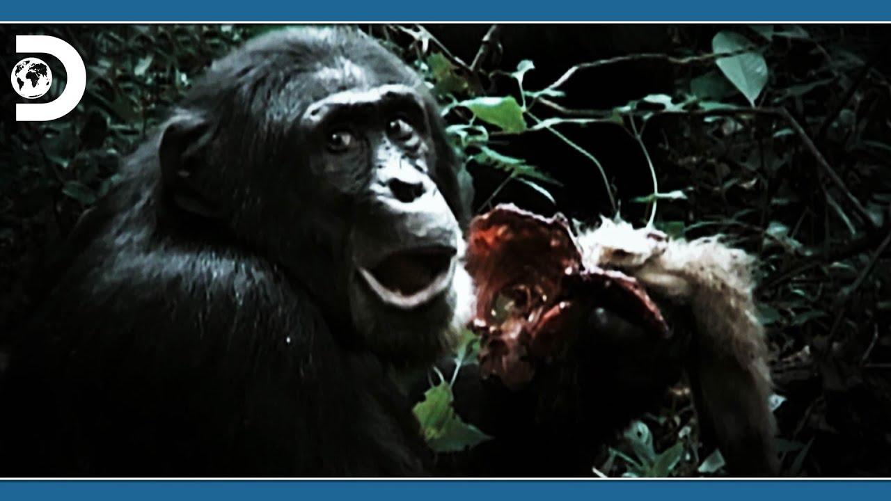 우리가 몰랐던 침팬지들의 불편한 이야기 [디스커버리 애니멀 : 전사 유인원들의 진화]
