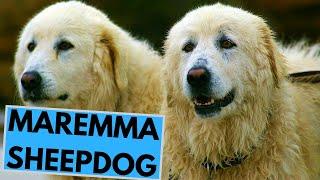 Maremma Sheepdog  TOP 10 Interesting Facts