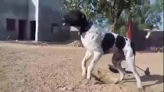 DON BULLY KUTTA BULLY DOG