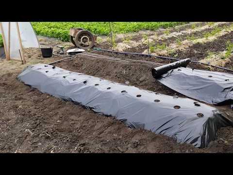 Новые сорта земляники Пайнбери, Фрамберри, Альбион и Антеа. Посадка на теплую грядку и под пленку.