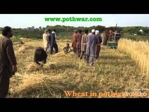 Wheat in pothwar 2016