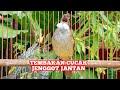 Masteran Cucak Jenggot Jawa Gacor Beset Ngepik Jernih Kicau Pidong  Mp3 - Mp4 Download