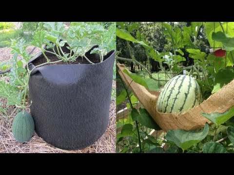 10-tips-to-grow-watermelon-in-containers-no-matter-where-you-live