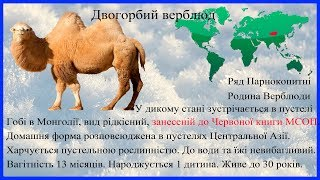 Верблюд. Николаевский зоопарк