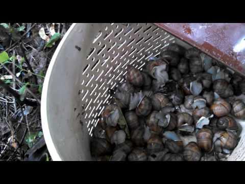Как собирать виноградных улиток после дождя.