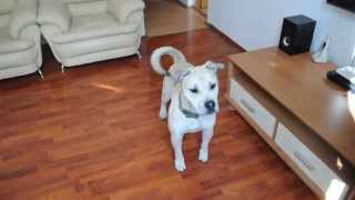 Funny dog videos 2015 try not to laugh.Dog games.Ca de bou funny videos.