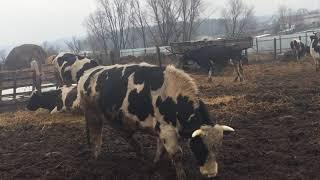 Огромный бешенный бык весит 700кг