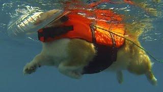 Goro Swims / ゴローさんのいぬかきを真下から撮ってみた 20140806 Goro@welsh Corgi コーギー Dog Paddle