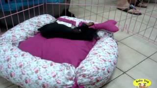 Baby Dog - Filhote De Pinscher Em Fortaleza
