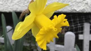 2018-04-07 自宅の現在の花々達の様子です。 2015年2月より妻の残した  ...