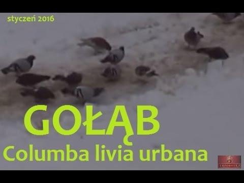Gołąb miejski (Columba livia f. urbana) Zima i ptaki w Polsce / Winter and birds in Poland