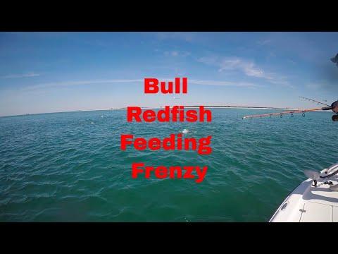 Mobile Bay Bull Redfish Feeding Freenzy