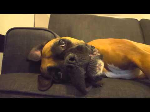 Boxer dog having a meltdown