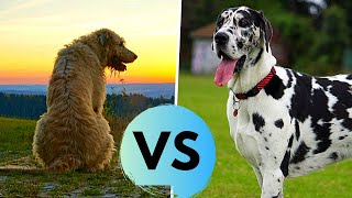 Irish Wolfhound vs Great Dane - Comparsion - Which One is Bigger?