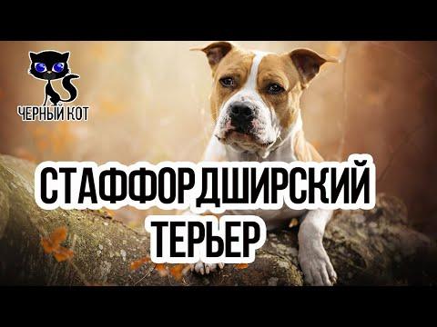 Стафф (Стаффордширский терьер) / Интересные факты о собаках