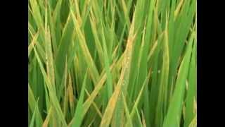 Bệnh đốm sọc vi khuẩn và cách điều trị tốt nhất cho cây lúa