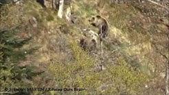 Observations directes de deux ours bruns dans les Pyrénées centrales francaises - Mai 2016