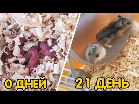 Джунгарские хомяки - ОТ 0 ДО 21 ДНЯ ЗА 3 МИНУТЫ | Hamsters babies FROM DAY 1 TO DAY 21
