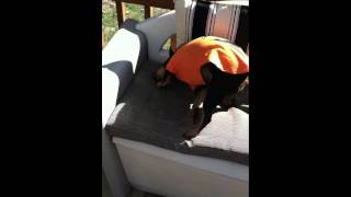 Chevy Tries To Get Shirt Off