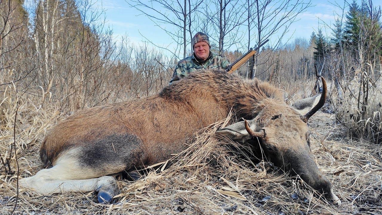 Охота на лося, но вышли кабаны. С камерами не везет, как с этим бороться?