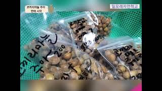 코끼리마늘 주아 판매 010-6477-0612 밀모래자…