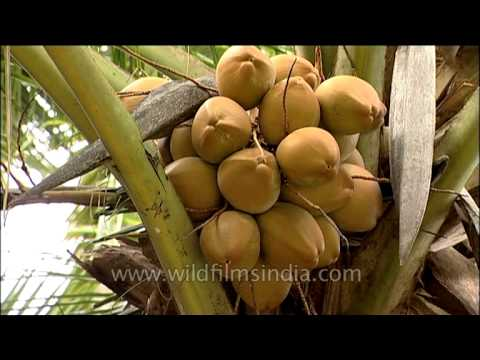 Coconut palm (Cocos nucifera) - tree of the palm family