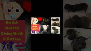 British Shorthair Cat Giving Birth 6 Adorable Kittens