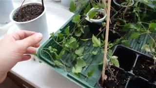 Клематис из семян готов  к высадки. Клематисы купленные корешочками растут!!!