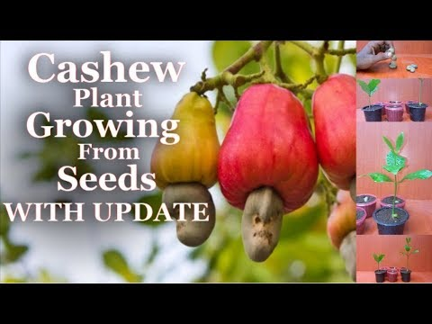 Cashew Plant Growing From Seed