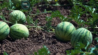 The Success Story of Watermelon Agriculture - Amazing Agriculture Technology | HOW TO