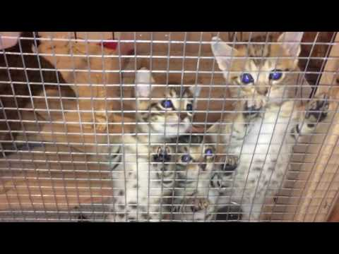 Cute Savannah Kittens Meow and Climb Fencing with Mama Cat