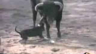 Bull Vs Dog