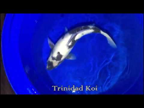 Trinidad Koi- Living Jewels Farm- Show Shiro