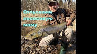 Река Салаца.Отпускание лосося./Salaca River.Salmon Catch & Release