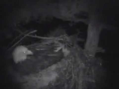 Oregon Bald Eagles   4/12/10   Flying Squirrel & Nesting Bald Eagle