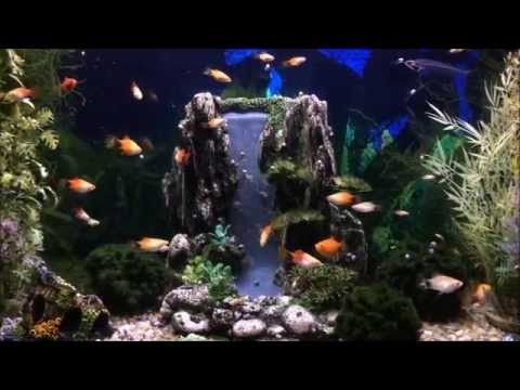 45 Gallon Tropical Fish Aquarium With Mickey Mouse Platy Babies