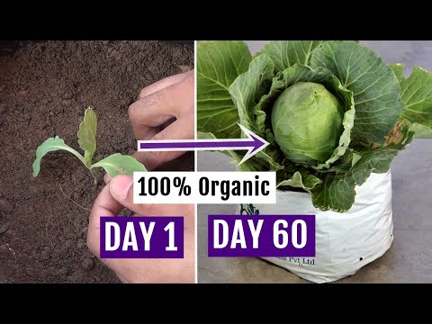 How to Grow Cabbage at Home Easily - Complete Growing Guide
