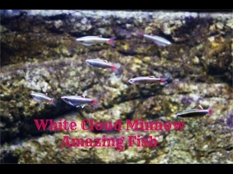 White Cloud Minnow: Amazing Fish