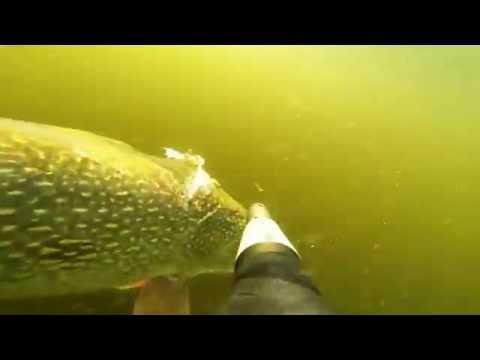 Подводная охота  Щука 15 кг, судаки, язи
