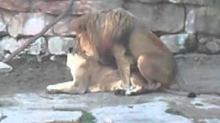 JODA LIONS HAVING SEX AT ZOO