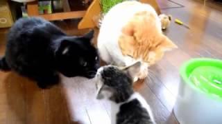 子猫たちに2番目の先輩猫 オス5歳のクロちゃんを見せてみました。 クロ...