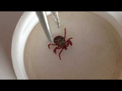 How To Remove A Tick From A Dog • Can you get lymes disease in Utah?