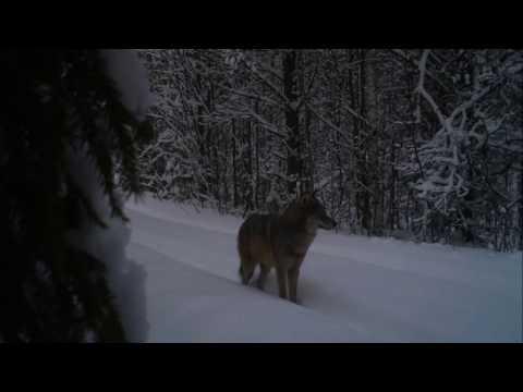 Волки крупным планом