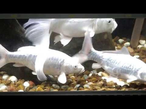 Milky White Koi Carp Fish