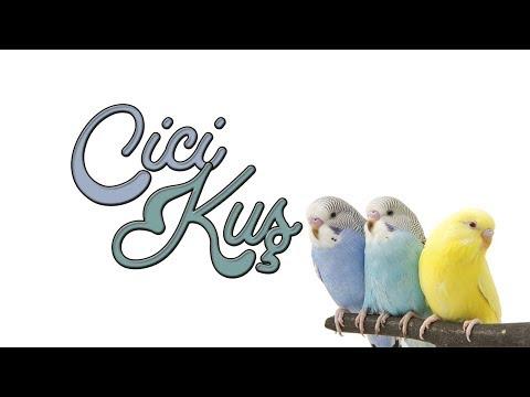 CİCİ KUŞ: Harika Papağan ve Muhabbet Kuşu Konuşturma Ses Kaydı!