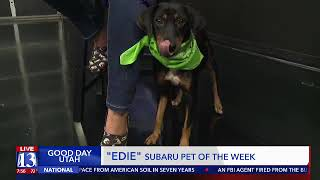 EDIE - Fox 13 Best Friend from the Humane Society of Utah